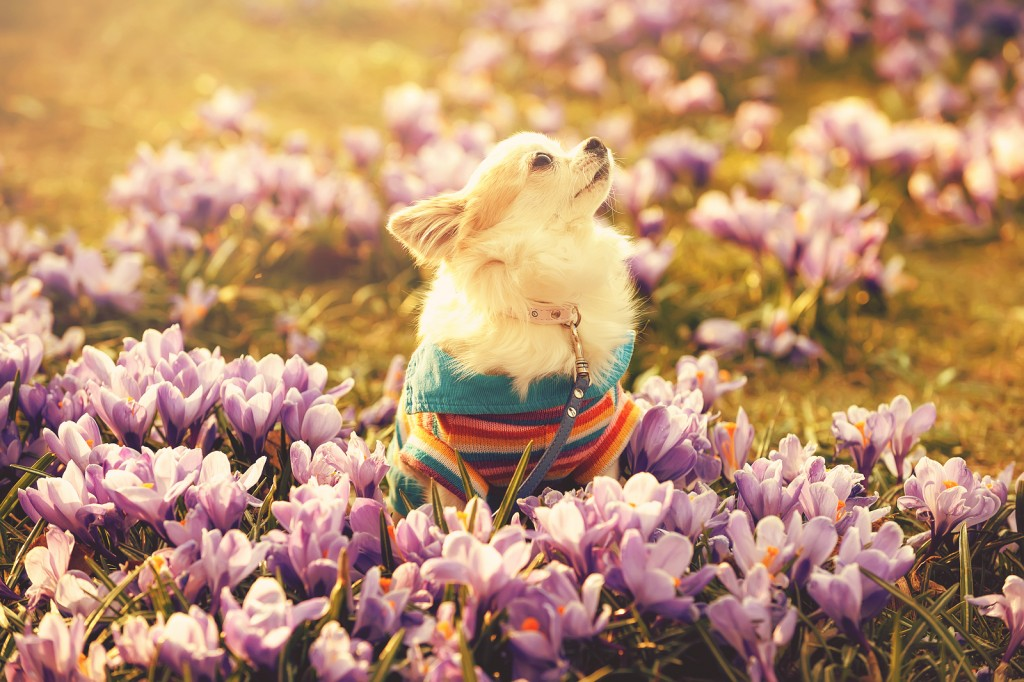 Chihuahua dog and gentle purple crocus flowers filtered sunny spring background
